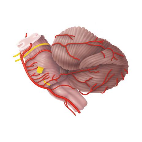 Cerebellar Anatomy and Blood Supply