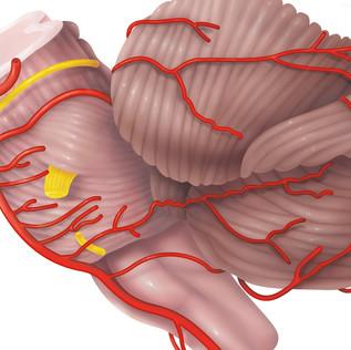 Anatomy of the Human Cerebellum
