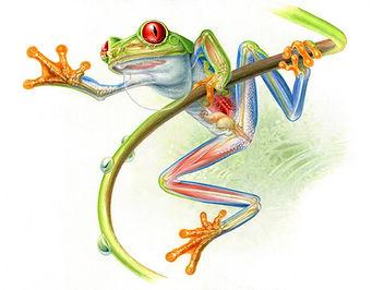 Red-eyed Tree Frog Anatomy