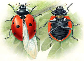 7 Spot Ladybird Anatomy, World of Animals