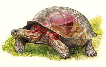 Galapagos Tortoise Anatomy, Chelonoides porteri, World of Animals
