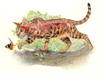 Bengal Cat Anatomy, World of Animals