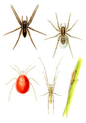 Spiders, New Holland Concise Pond Guide