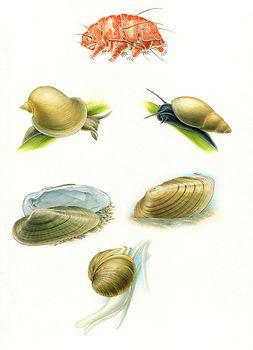 Pond Guide-Echiniscus & Molluscs