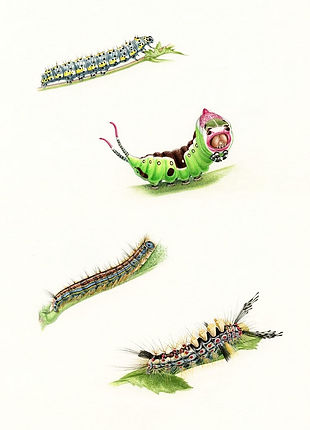 Caterpillars, New Holland Concise Butterfly & Moth Guide.