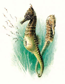 Seahorse - Hippocampus hippocampus, Marshall Editions