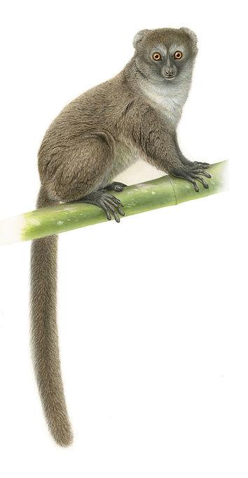 Grey Gentle Lemur - web.jpg