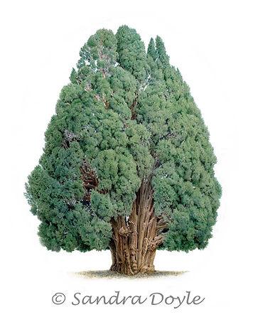 Iran Cypress Tree-web.jpg