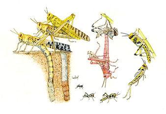 Locust Life Cycle