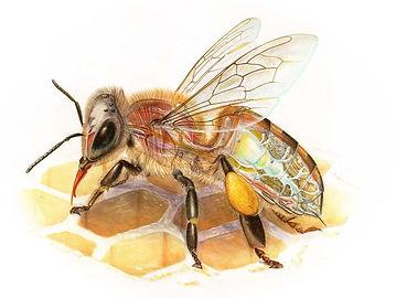Honey Bee Anatomy, World of Animals