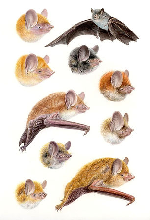 Tube-nosed Bats, A Field Guide to the Mammals of South East Asia, Bloomsbury
