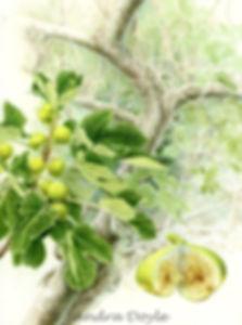 Cardinal Pole's White Fig web_edited_edi