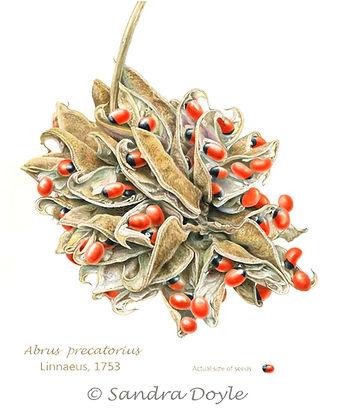 Abrus precatorius