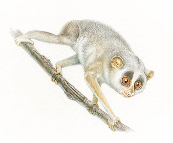 Terrific Tree Dwellers 4 bush baby - web
