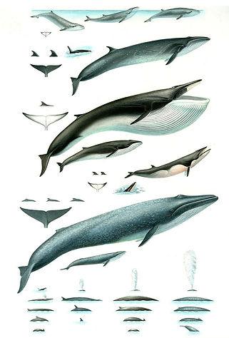 Large Whales, Princeton University Press