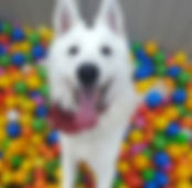 Fun in the dog park ball pit!