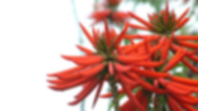 3-Erythrina-speciosa.jpg