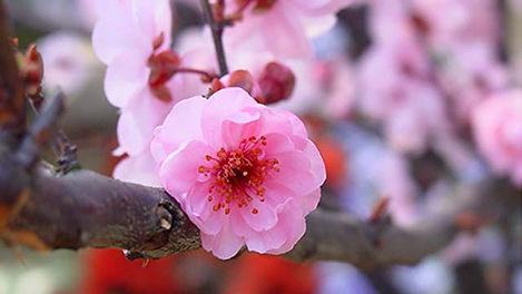 6-Prunus-mume.jpg