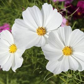 cosmos_ppurity_seeds_sale.jpg
