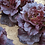 Thumbnail: Miracle Maker Lettuce Seeds