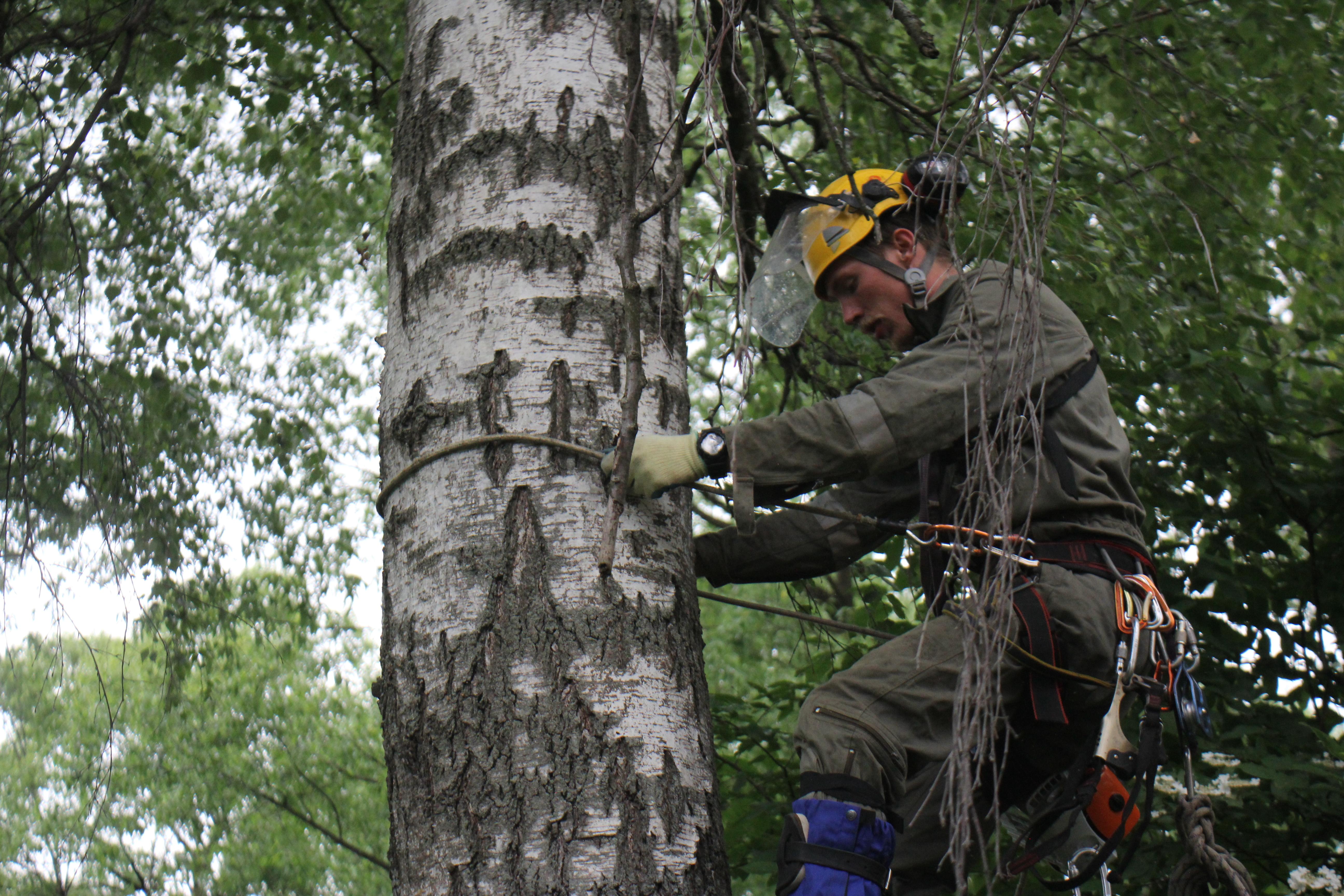 Подъем арбориста на дерево