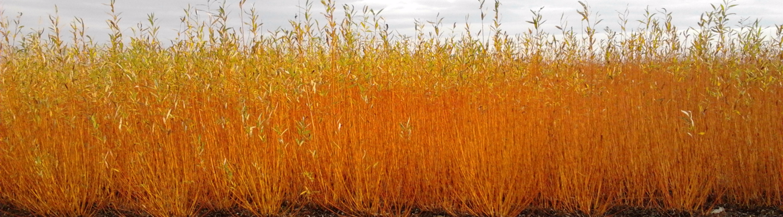 salici gialli campo