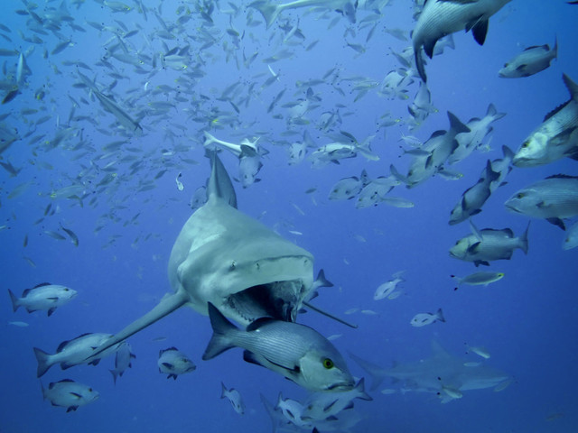 Diving with bullsharks