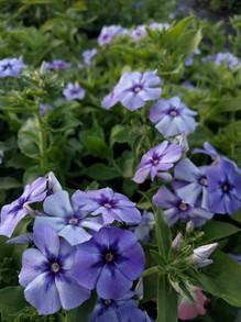 blue-phlox-black-shed-flowers.jpg