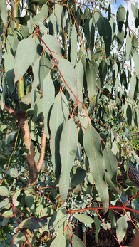 black-shed-eucalyptus.2.jpg