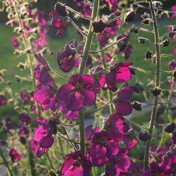 verbascum-violetta-black-shed-flowers.jp