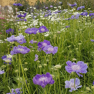 scabious-fama-black-shed-flowers.jpg