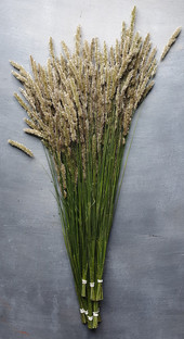 melica-ciliata-black-shed-dried-flowers.