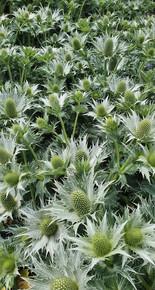 eryngium-black-shed-flowers-2.jpg