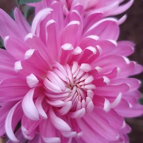 pink-chrysanthemum-black-shed-flowers.jp