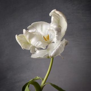 white-parrot-black-shed-tulips.jpg