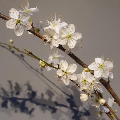 prunus-black-shed-flowers.jpg