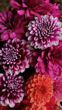 october-dahlias-black-shed-flowers.jpg