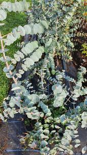 black-shed-eucalyptus.jpg