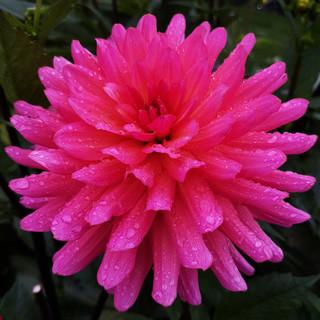 karma-fuchsiana-black-shed-flowers.3.jpg
