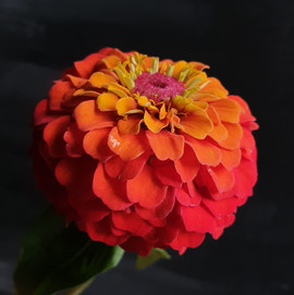 zinnia-black-shed-flowers.jpg