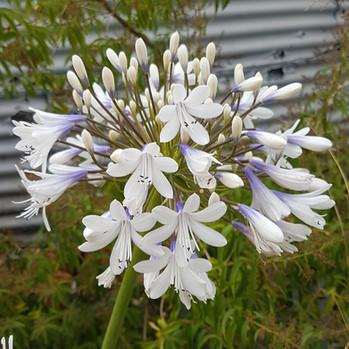 agapanthus-black-shed-flowers.jpg