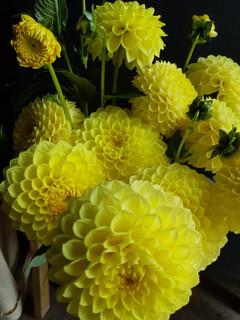 yellow-black-shed-dahlias.jpg