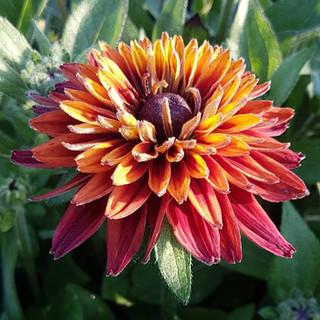 rudbeckia-black-shed-flowers.1.jpg