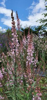 linaria-black-shed-flowers.jpg