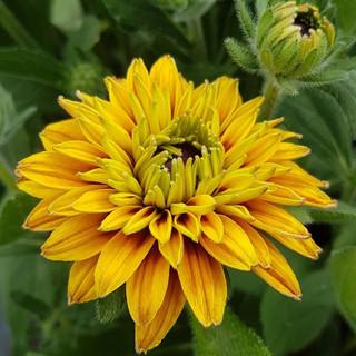 rudbeckia-black-shed-flowers.3.jpg