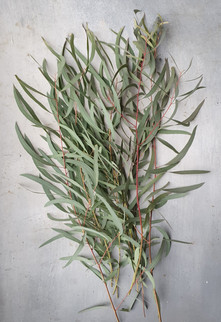black-shed-eucalyptus-nicholii.jpg
