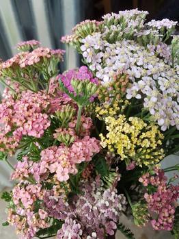 achillea-black-shed-flowers.jpg