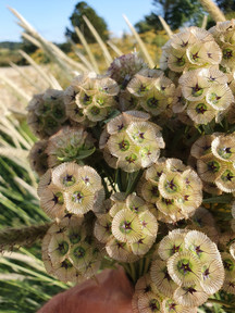 black-shed-dried-flowers-scabious-stella