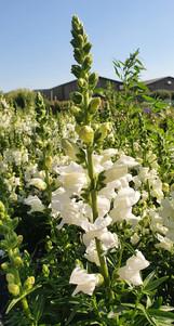 white-snapdragon-black-shed-flowers.jpg