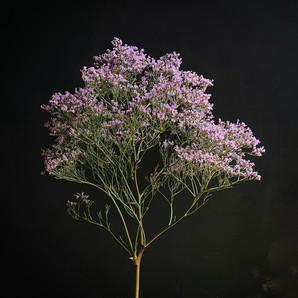 sea-lavender-black-shed-flowers.jpeg